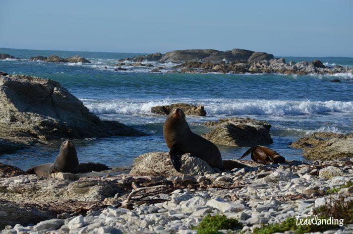 colonia de focas Nueva Zelanda