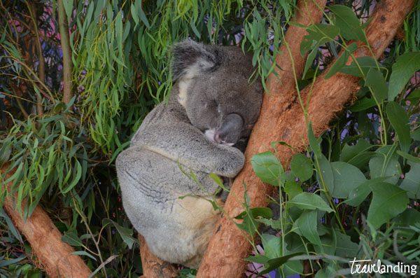 koala sidney australia