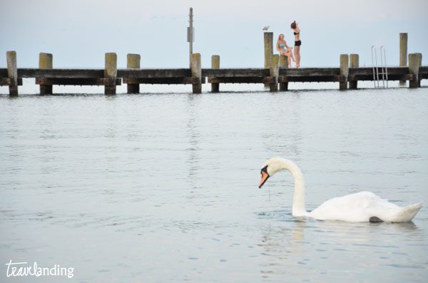travemunde playas con cisnes