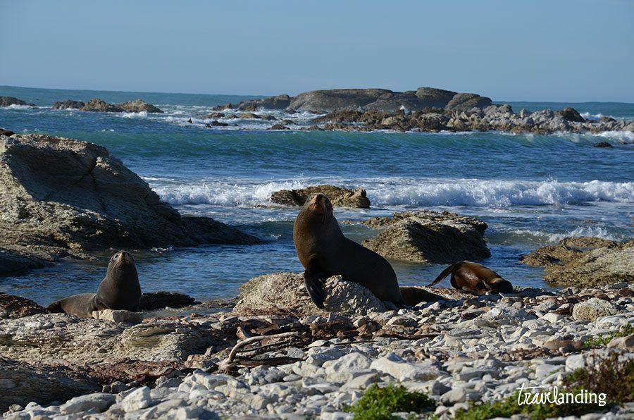 focas-pickton
