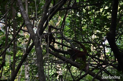 monos-aulladores-manuel-antonio