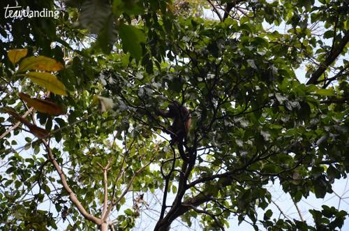 monos-de-manuel-antonio