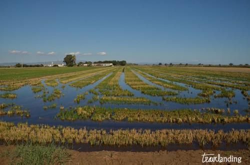 arrozales-delta