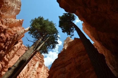 arboles bryce canyon