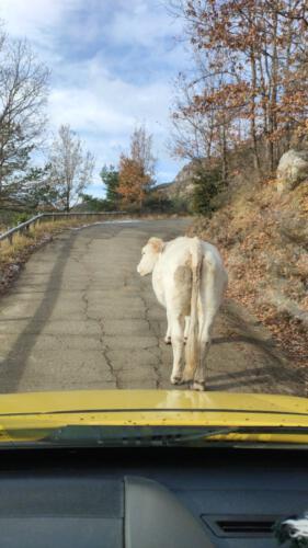 vacas montgrony